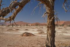 Acacia en primer plano con paisaje dunar al fondo.