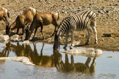 Cebra bebiendo al borde de una charca junto a impalas.