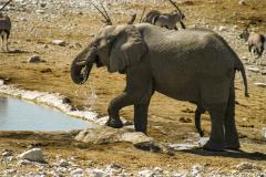 Imponente elefante bebiendo con Oryx al fondo.