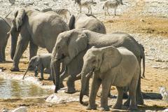 Grupo de elefantes con una cría bebiendo.