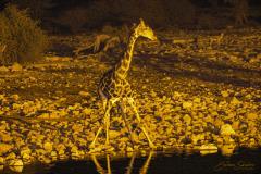 Jirafa bebiendo abriendo las patas delanteras, al borde de una charca, de noche.