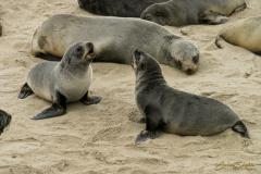 Leones marinos peleando en la reserva de Cape Cross.