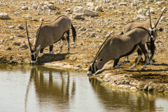 Oryx bebiendo al borde de una charca.