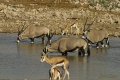 Oryx y gacelas bebiendo juntos en el agua.