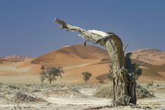 Tallo de acacia seco en primer plano con paisaje de dunas al fondo.