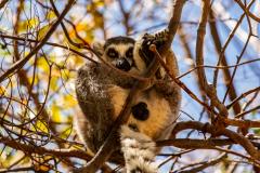 Lemur de cola anillada.