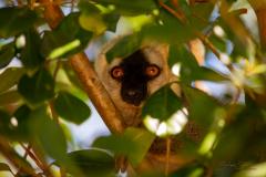Lemur observando.