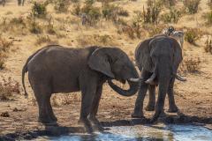 Elefantes bebiendo.