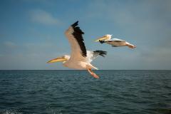 Pelícanos volando.