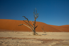 Acacia petrificada.