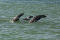 Lenoes marinos saltando.