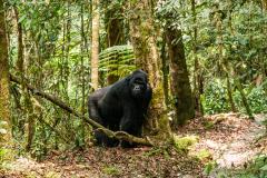 Joven gorila