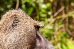 Retrato de un babuino